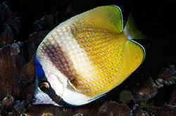 Chaetodon_Kleini_importfish