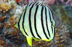 Chaetodon_Octofasciatus_importfish