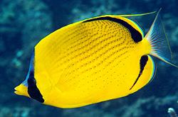 Chaetodon_Semeion_importfish