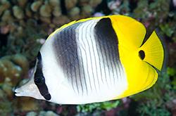 Chaetodon_Ulietensis_importfish