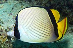 Chaetodon_Vagabundus_importfish