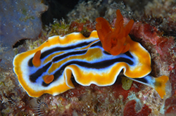 Chromodoris_Quadricolor_importfish