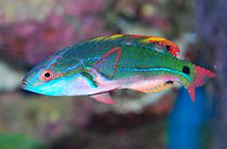 Cirrhilabrus_Exquisitus_importfish