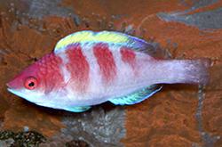 Cirrhilabrus_Flavidorsalis_importfish