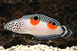 Coris_Aygula_importfish