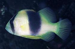 Diploprion_Bifasciatus_importfish