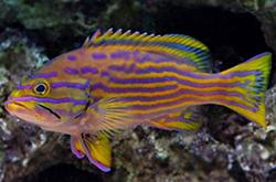 Epinephelus_Polleni_importfish