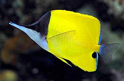 Forcipiger_Flavissimus_importfish