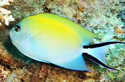 Genicanthus_Melanospilus_female_importfish