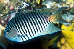 Genicanthus_Melanospilus_male_importfish