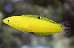 Halichoeres_Chrysus_importfish