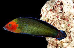 Halichoeres_Rubricephalus_importfish