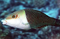 Hemigymnus_Melapterus_importfish