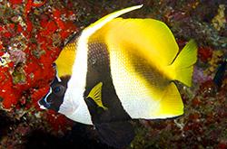 Heniochus_Monoceros_importfish