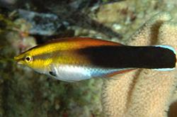 Labroides_Pectoralis_importfish