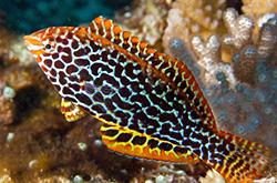 Macropharyngodon_Meleagris_importfish
