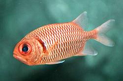 Myripristis_Sp_importfish