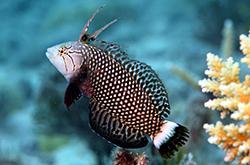 Novaculichthys_Taeniourus_importfish