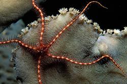 Ophiothrix_Purpurea_importfish