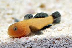 Panda-Coral-Goby_importfish