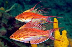 Paracheilinus_Filamentosus_importfish