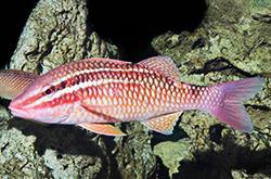 Parupeneus_Atrocingulatus_importfish