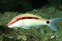 Parupeneus_Barberinus_importfish