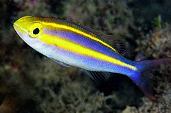 Pentapodus_emeryii_importfish