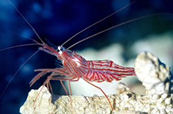 Peppermint_Shrimp_importfish