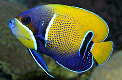 Pomacanthus_Navarchus_importfish