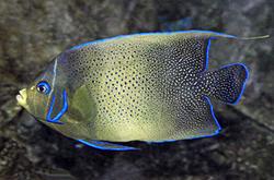Pomacanthus_semicirculatus_importfish