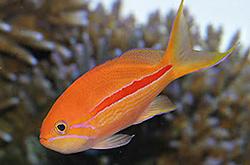 Pseudanthias_Fasciatus_importfish