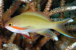 Pseudanthias_Hutchi_importfish
