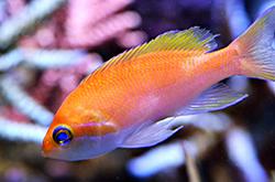 Pseudanthias_Hutomoi_importfish