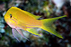 Pseudanthias_Pleurotaenia_female_importfish