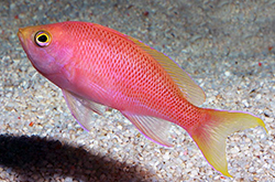 Pseudanthias_Pulcherrimus_importfish