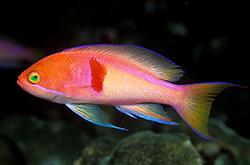 Pseudanthias_Rubrizonatus_importfish