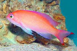 Pseudanthias_truncatus_Truncate_Fairy_Basslet_importfish