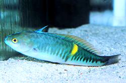 Pseudocoris_Bleekeri_importfish