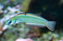 Ptereleotris_Zebra_importfish