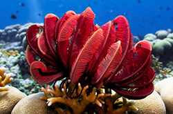 Red_Feather_Starfish_importfish