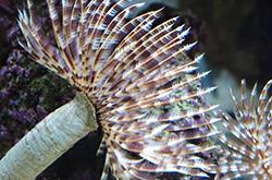 Sabellastarte_Sp_importfish