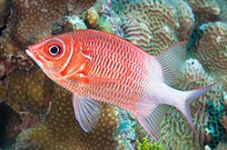 Sargocentron_caudimaculatum_importfish