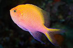 Serranocirrhitus_Latus_importfish