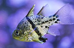 Sphaeramia_Obicularis_importfish