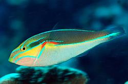 Stethojulis-Bandanensis-male_importfish