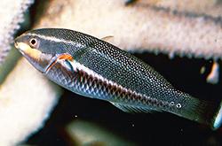 Stethojulis-Trilineata-female_importfish