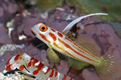 Stonogobiops_Sp_Alpheus-Shrimp_importfish