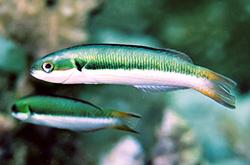 Thalassoma_Amblycephalum_importfish