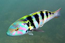 Thalassoma_Hardwicke_importfish